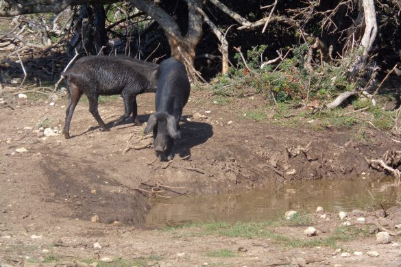 varkens in de schildpaddenvallei