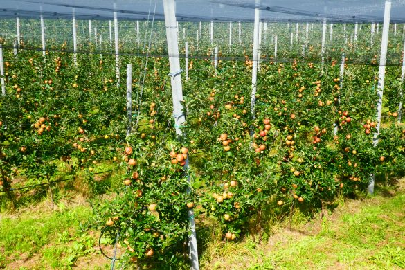 appelteelt langs de Adige