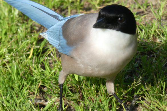 ekster met azuurblauwe vleugels in Spanje