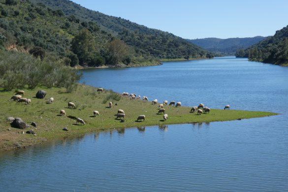 grazend vee aan het stuwmeer van Minilla