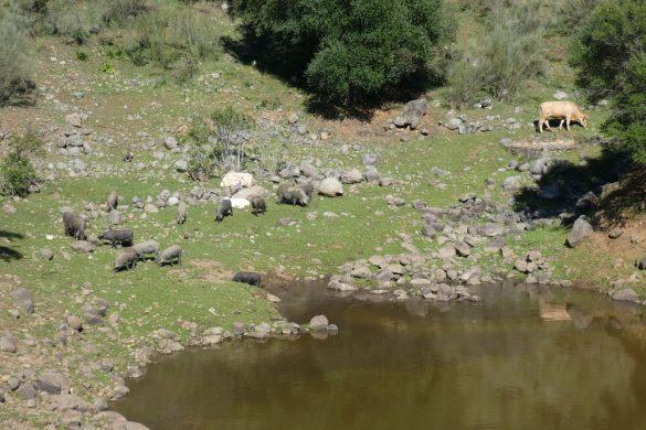 varkentjes aan een inham van Minilla stuwmeer